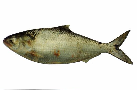 Hilsa shad (Tenualosa ilisha)