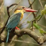 storkbilledkingfisher