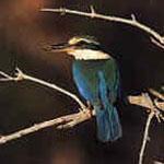 white_collared_kingfisher